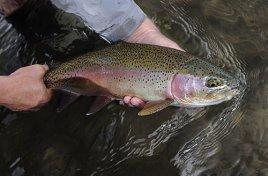 Montana Trout Foundation